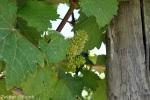 Domaine de Chaberton: Little grapes