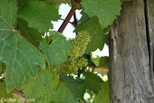 Domaine de Chaberton: Little grapes